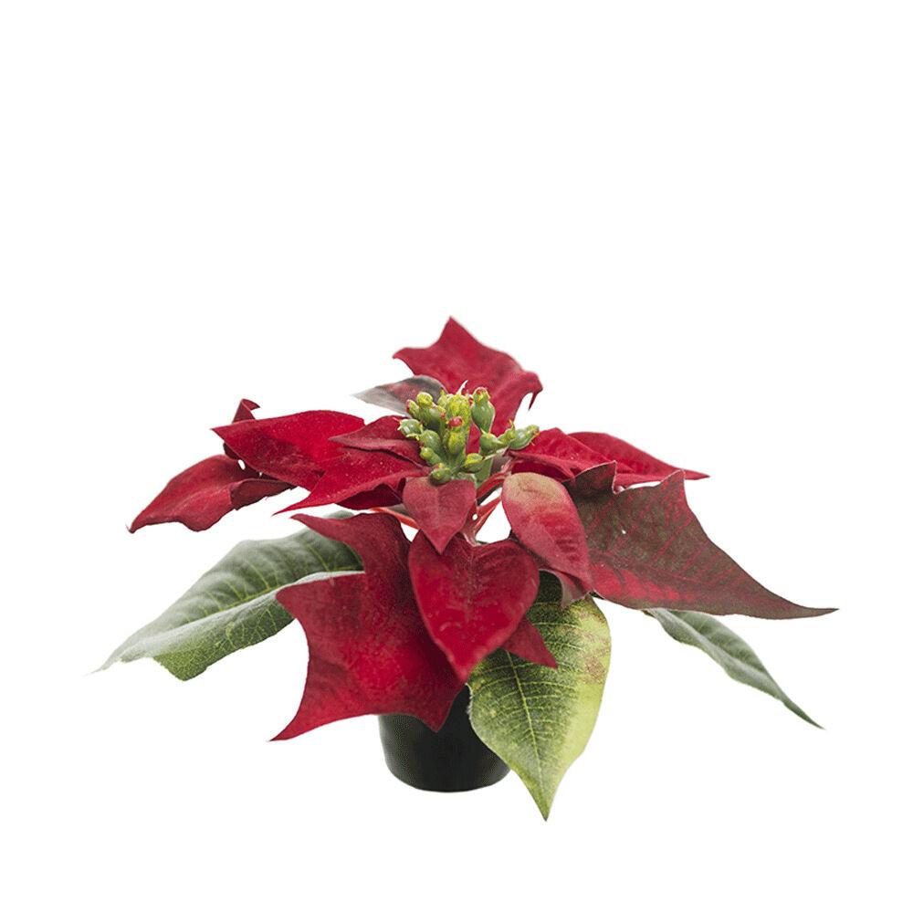 Konstväxt Julstjärna 10 cm