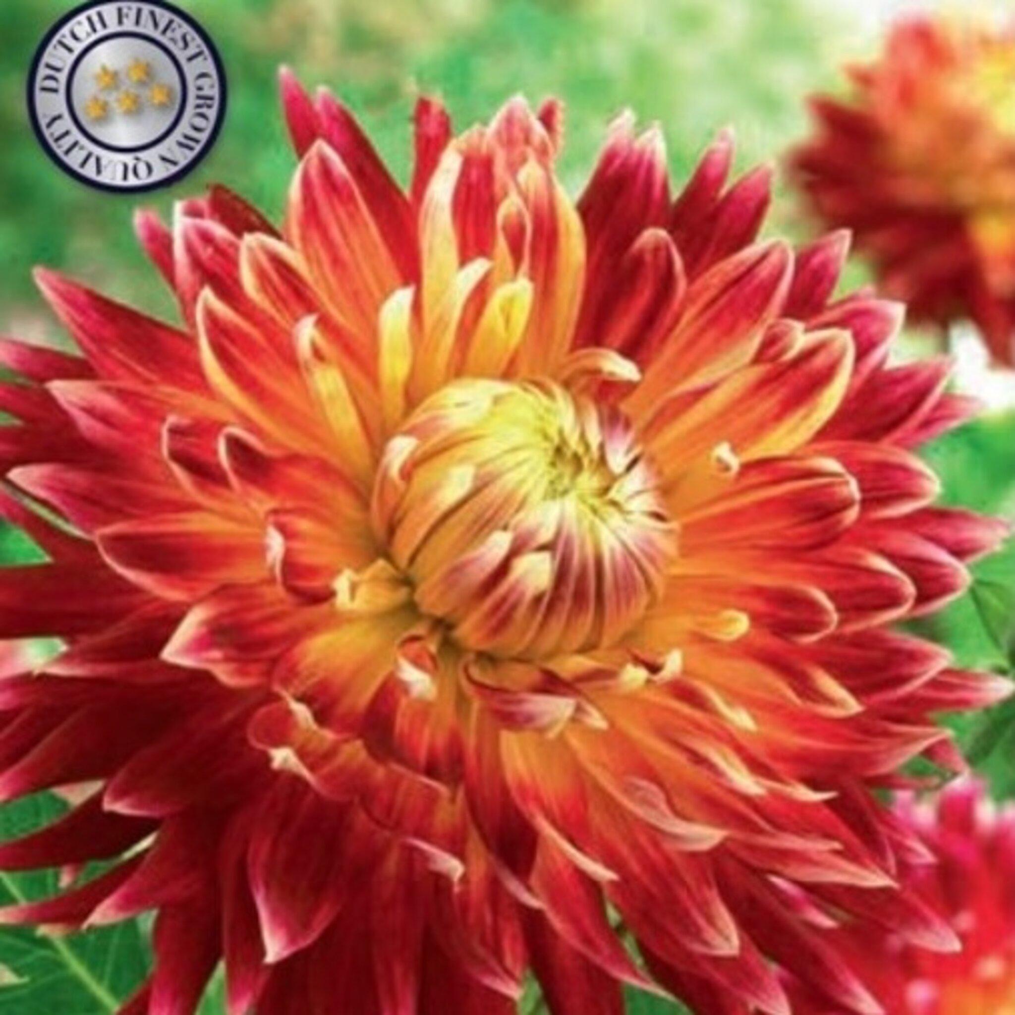 Blomsterlök Dahlia Akita