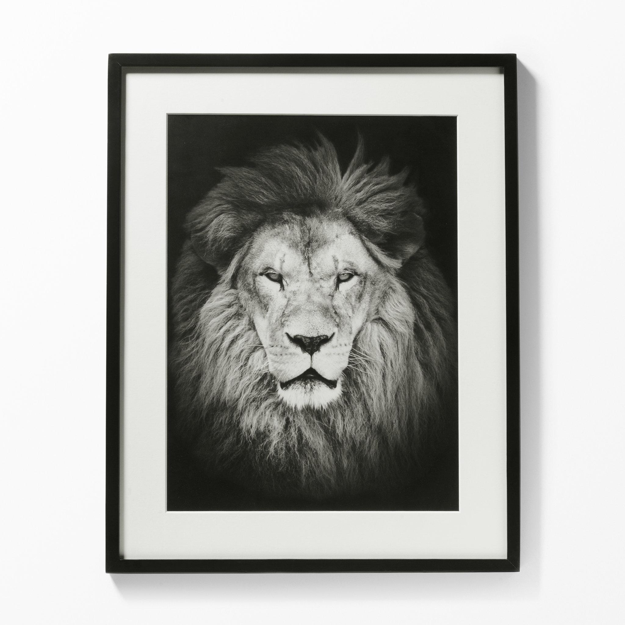 lejon tavla svart vit